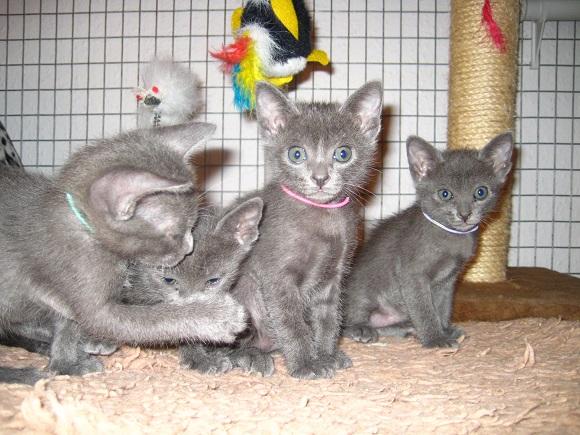 List Of Registered Cat Breeders Uk
